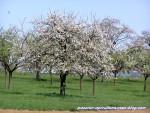 Cerisiers-en-fleurs--2-